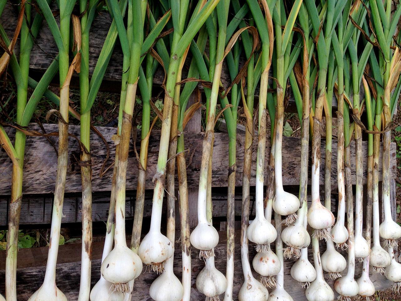 Onions - Farm Fresh